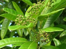 pimienta-dioica